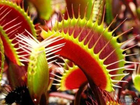 хищные растения венерина мухоловка