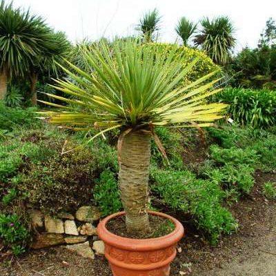 Драконовое дерево ( Dracaena draco, драцена канарская)