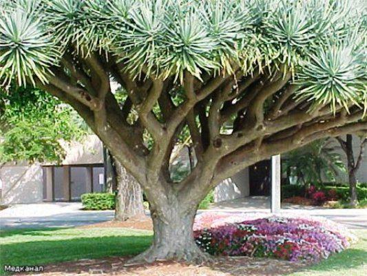 Драцена драконовая или Драконье дерево