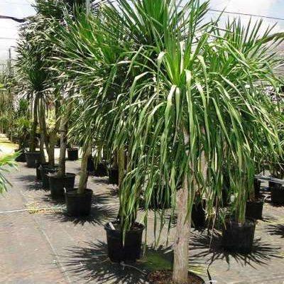 Драцена древовидная (Dracaena arborea)