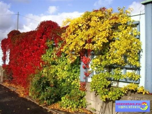 вьющиеся растения для забора быстрорастущие в сибири
