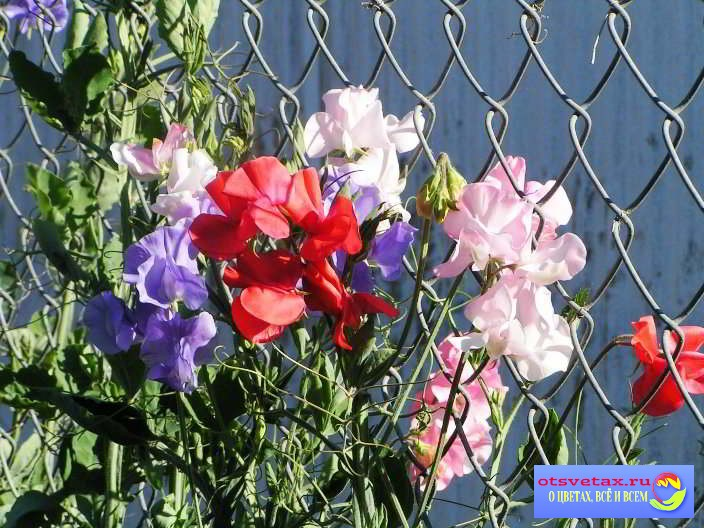 Dushistyiy-goroshek Вьющиеся растения для забора быстрорастущие