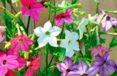 Душистый табак: посадка и уход, фото в саду, описание, высота, отзывы
