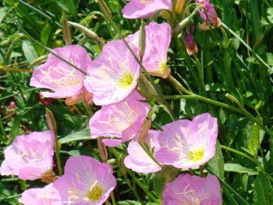 энотера розовая многолетняя