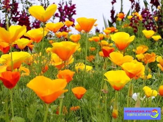 неприхотливые растения для клумбы список