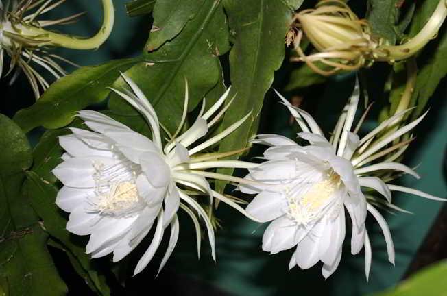 домашние кактусы фото и название