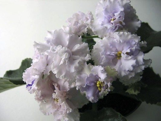 Фиалка сорт Снежное-кружево