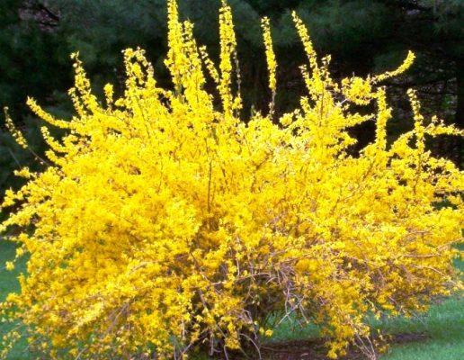 цветущие зимостойкие кустарники
