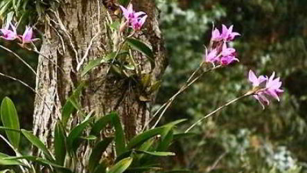 Где родина растения орхидеи
