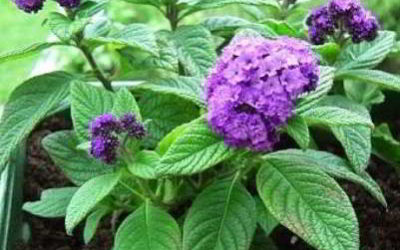Гелиотроп: выращивание из семян в домашних условиях
