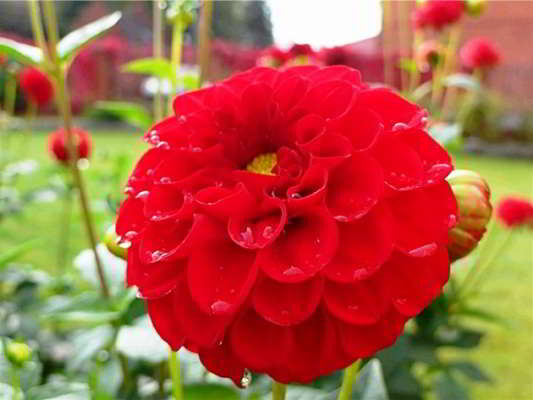 цветы георгины многолетние