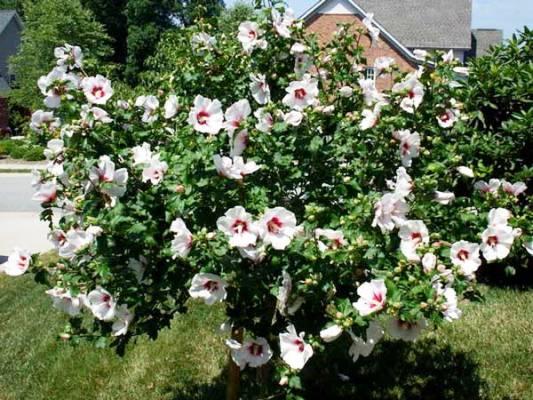 названия многолетних цветущих кустарников