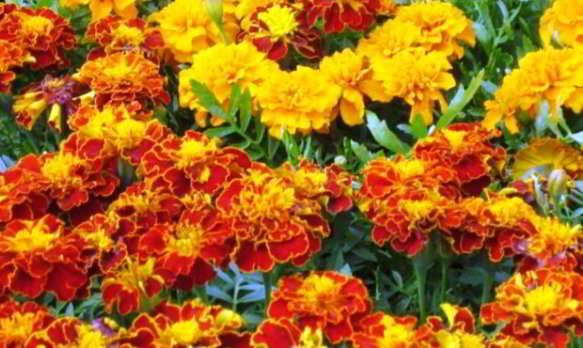 цветок бархатцы фото