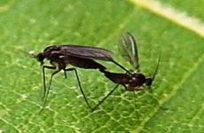 Грибные комарики сциариды на комнатных цветах как избавиться