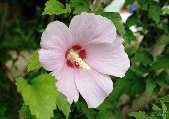 hibiscus_syriacus