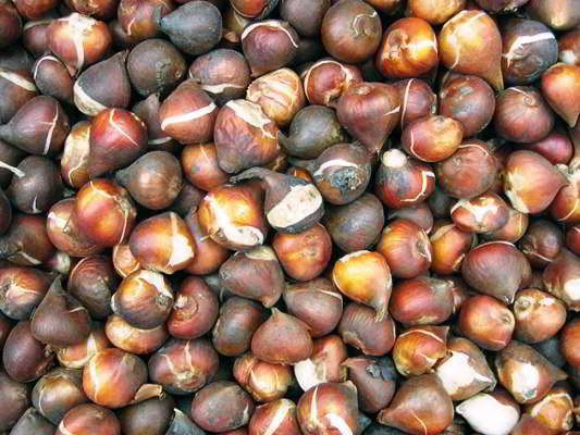 как хранить выкопанные луковицы тюльпанов