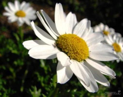 хризантема в горшке уход в домашних условиях болезни