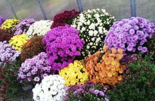 хризантема садовая многолетняя посадка и уход фото болезни
