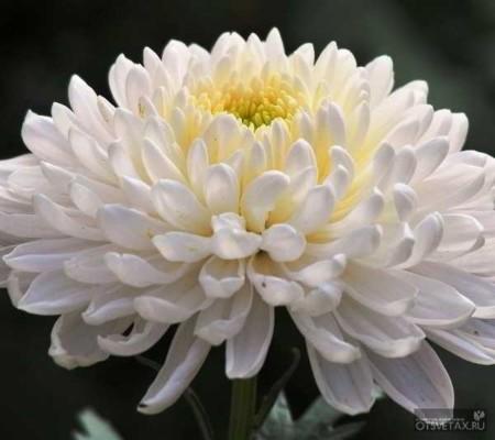 хризантема в горшке уход в домашних условиях обрезка