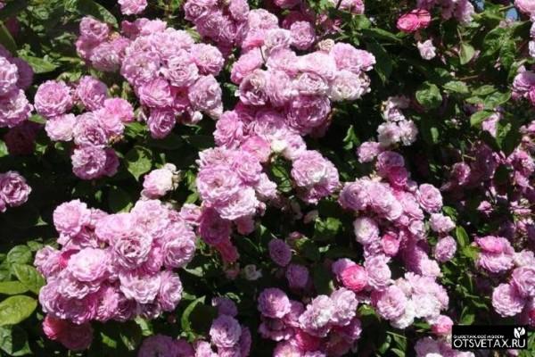 плетистые розы цветущие все лето сорта зимостойкие в сибири