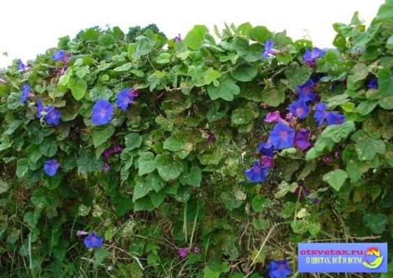 Ipomeya Вьющиеся растения для забора быстрорастущие