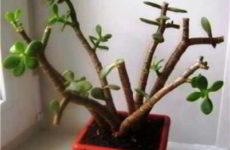 Денежное дерево: как правильно и легко сформировать крону