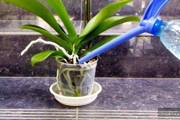 янтарная кислота для комнатных растений полив