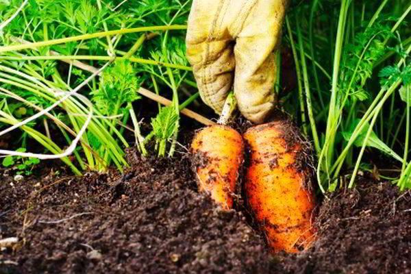 Как собрать созревшую морковь
