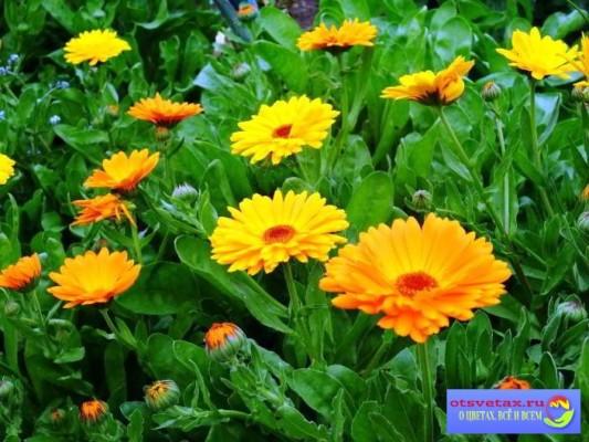 цветы для клумбы неприхотливые яркие цветы