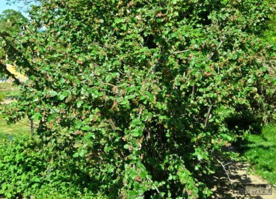 живая изгородь быстрорастущая многолетняя вечнозеленая на даче