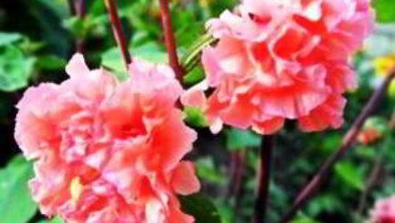 Кларкия изящная – выращивание из семян, когда сажать на рассаду, в грунт
