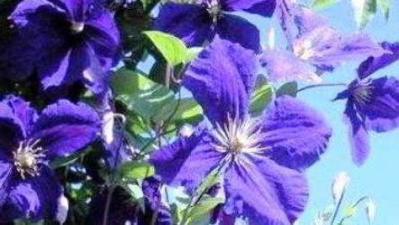 Как вырастить клематис из семян в домашних условиях без проблем