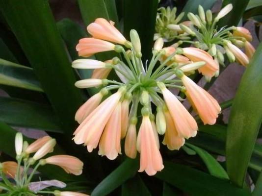 домашний цветок кливия фото