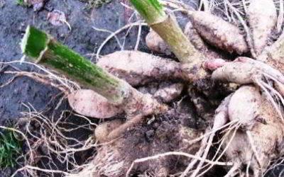 Как посадить георгины клубнями весной, сроки, подготовка, проращивание, высадка в грунт