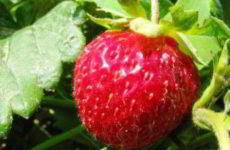 Как вырастить рассаду клубники из семян в домашних условиях