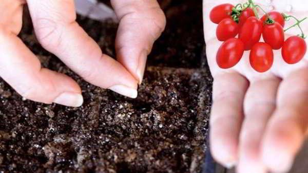 когда сажать помидоры в подмосковье 2018