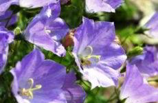 Как вырастить колокольчик карпатский из семян на рассаду