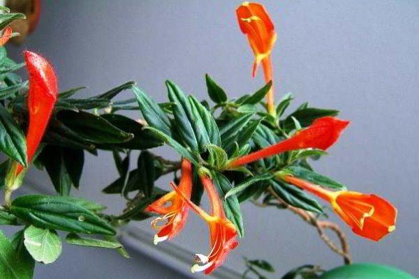 цветы комнатные луковичные цветущие фото и названия
