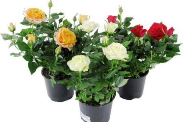неприхотливые комнатные растения фото и названия цветущие круглый год