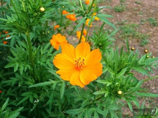 космея выращивание из семян когда сажать на рассаду