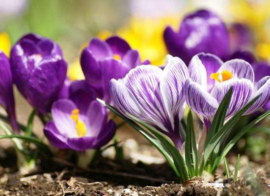 первый весенний цветок фото