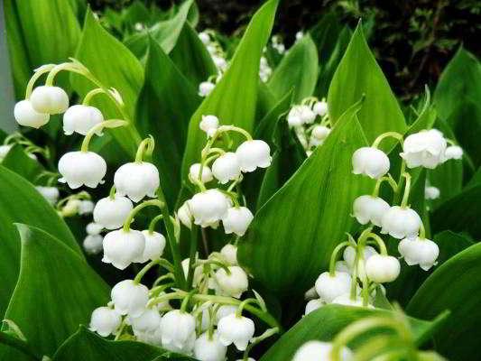 цветок многолетник