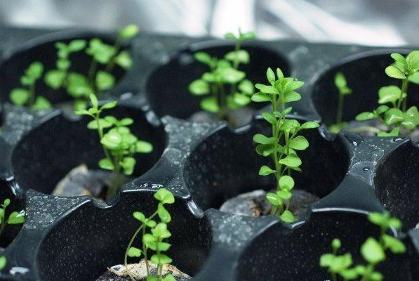 как вырастить лаванду из семян