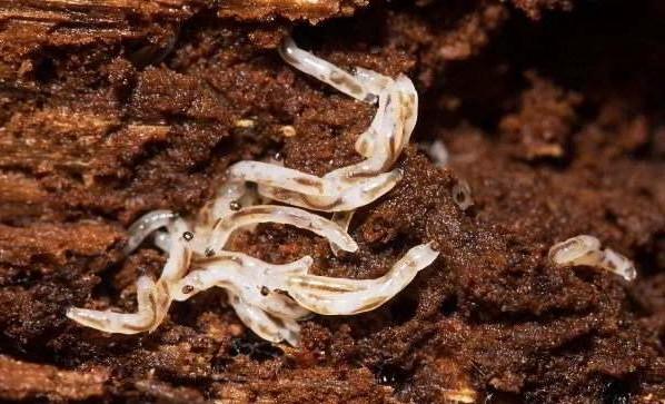 Личинки цветочной мошки