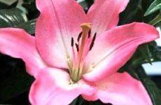 Лилия: посадка и уход за цветком в открытом грунте