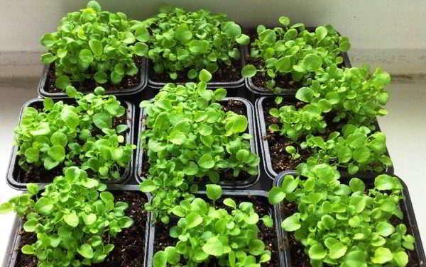 лобелия выращивание из семян в домашних