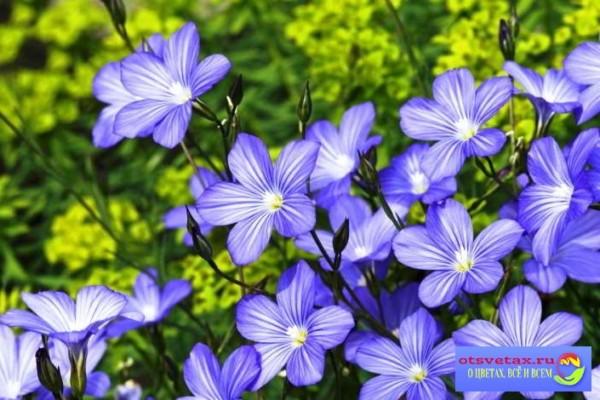 неприхотливые цветы для клумбы однолетние