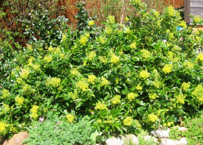 живая изгородь быстрорастущая многолетняя вечнозеленая в спб