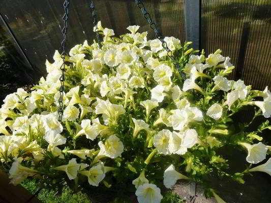 Мелкоцветковая-петуния-