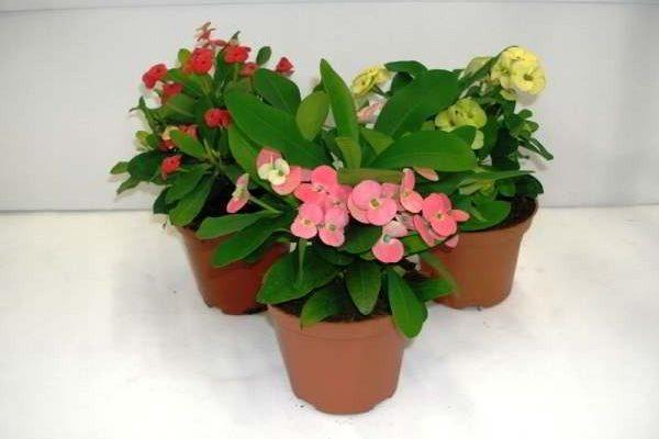комнатные растения фото и названия цветущие круглый год
